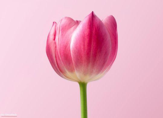 Tulpe zum Frauentag Die Physiotherapie Bautzen